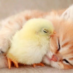 Kitten and Chick Nap so Sweetly Together